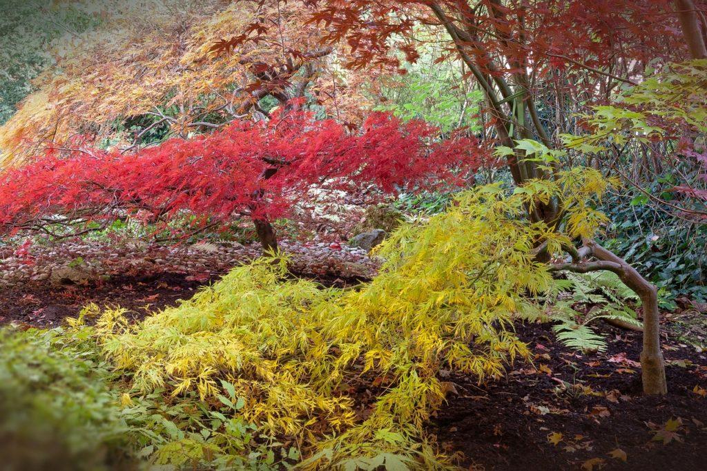 L'erable du Japon : un arbuste au mille secrets
