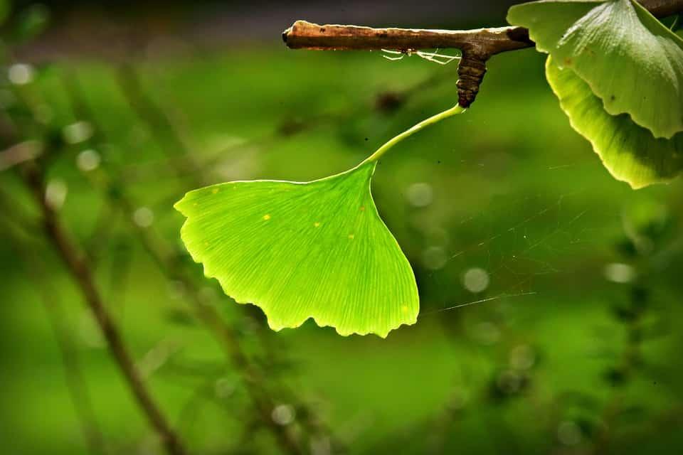 Le Ginkgo Biloba : le plus vieil arbre connu et ses vertus pour la mémoire ?
