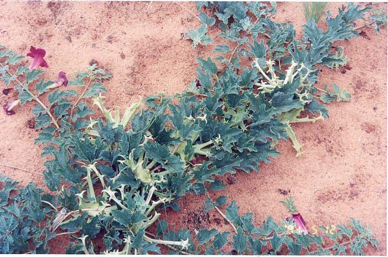 Pourquoi devez-vous choisir de l'Harpagophytum bio et concentré ?